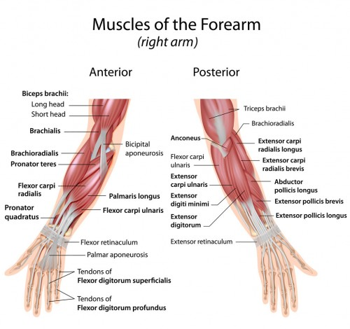 Muscles-of-forearm-wrist