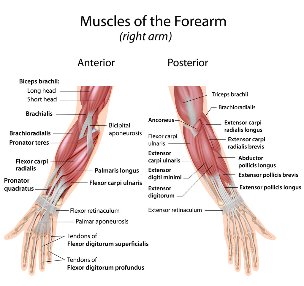 Muscles Of Forearm Wrist The Orthopedic Sports Medicine