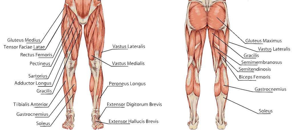 Muscles-of-knee - The Orthopedic & Sports Medicine Institute in Fort ...