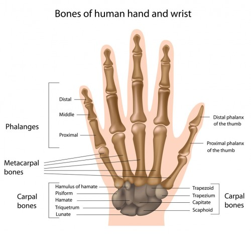 anatomy hand and wrist