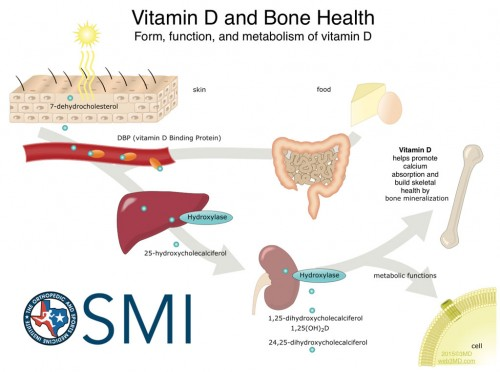 Vitamin D  build skeletal bone density