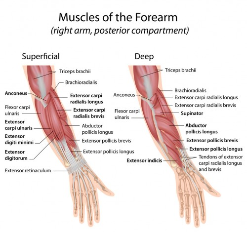 Forearm-muscles-dorsal-compartment