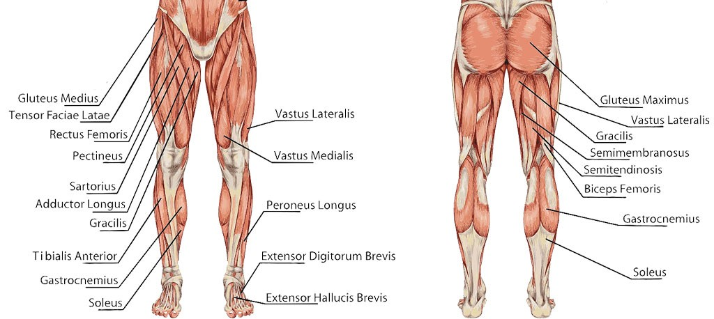 muscle s of knee to strengthen