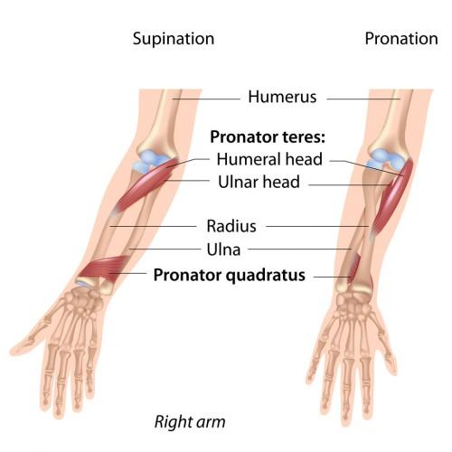 Pronators-muscles-of-forearm