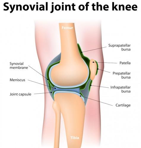 Bursae knee synovial fluid